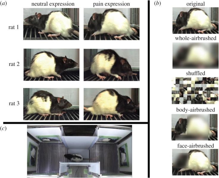 rat pain expressions