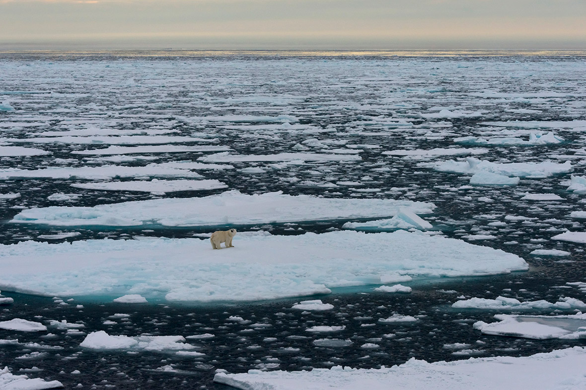 polar bear sea ice