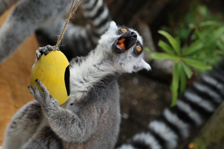 Lemurs at London Zoo enjoying