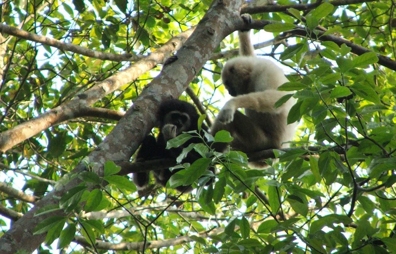 Secret gibbon language translated