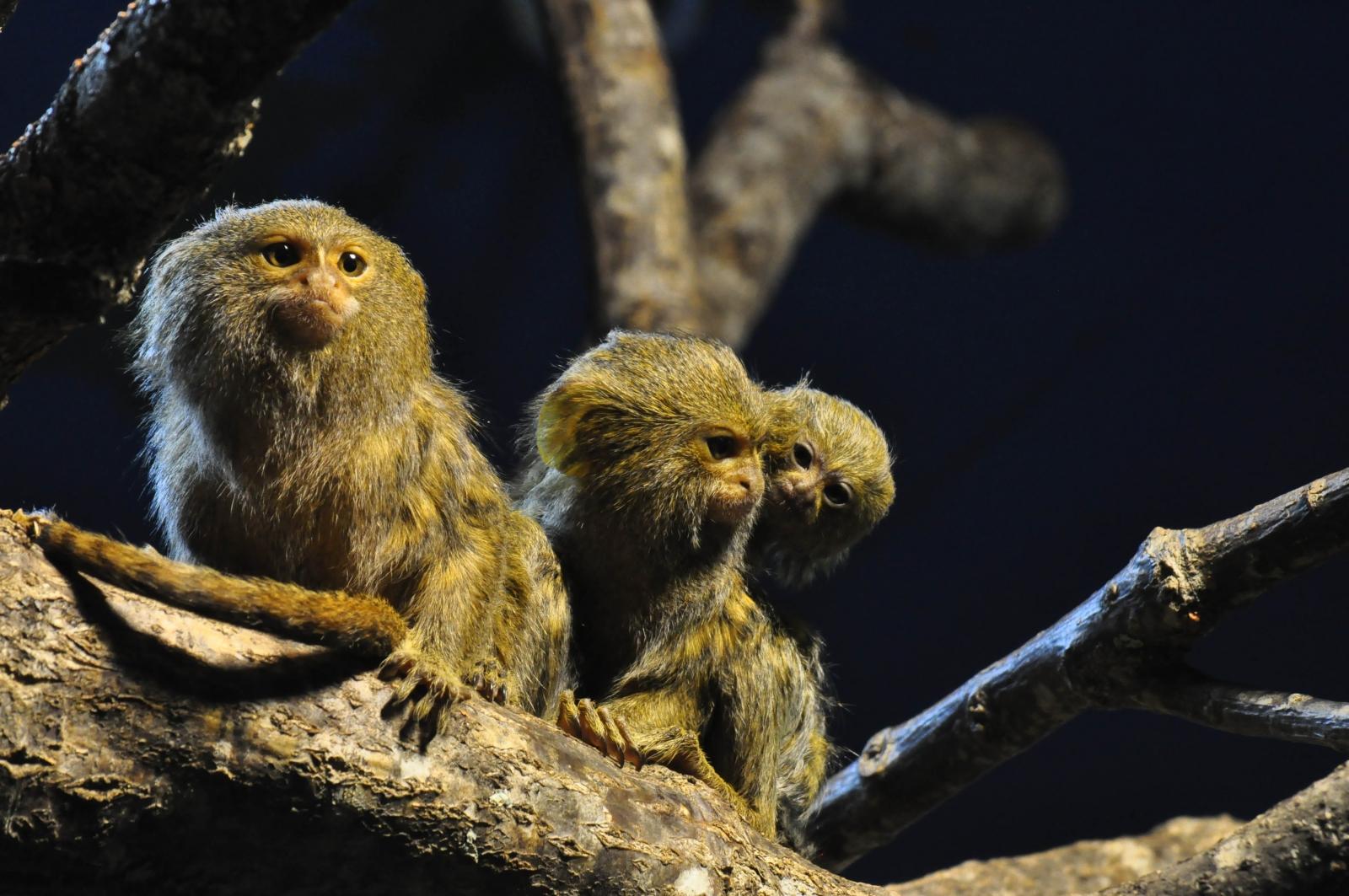 Marmoset monkeys Sweden Zoo