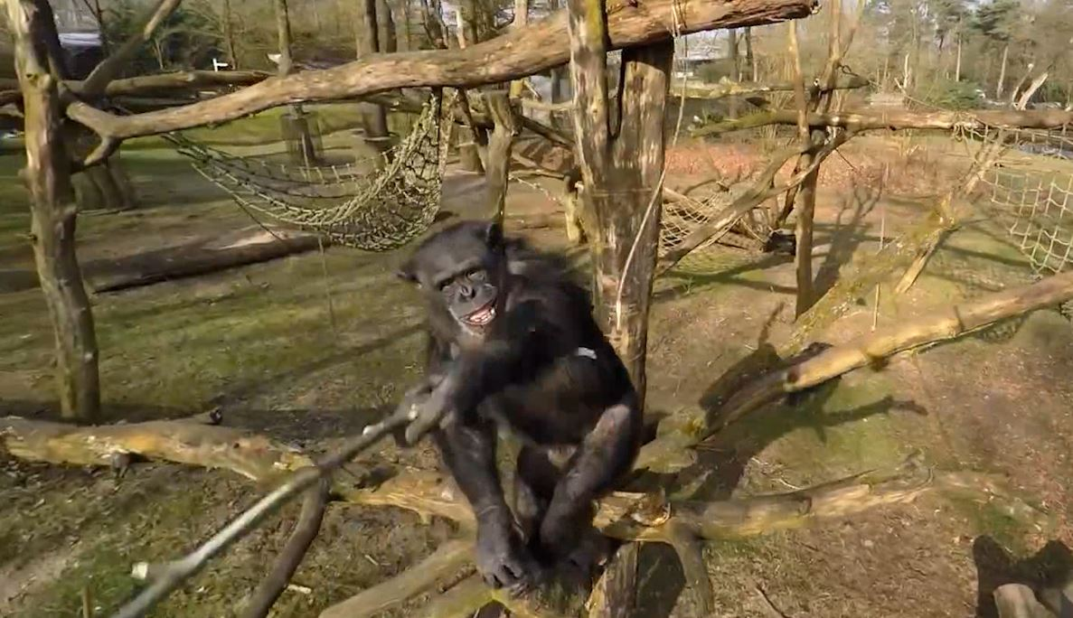 Chimpanzee knocks drone out of air