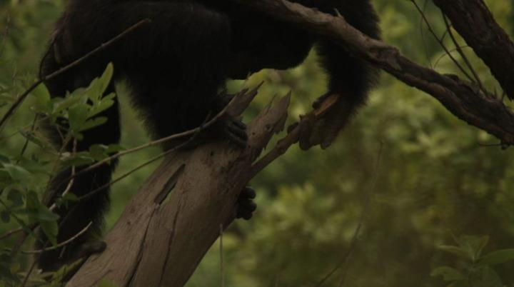 female chimp hunting