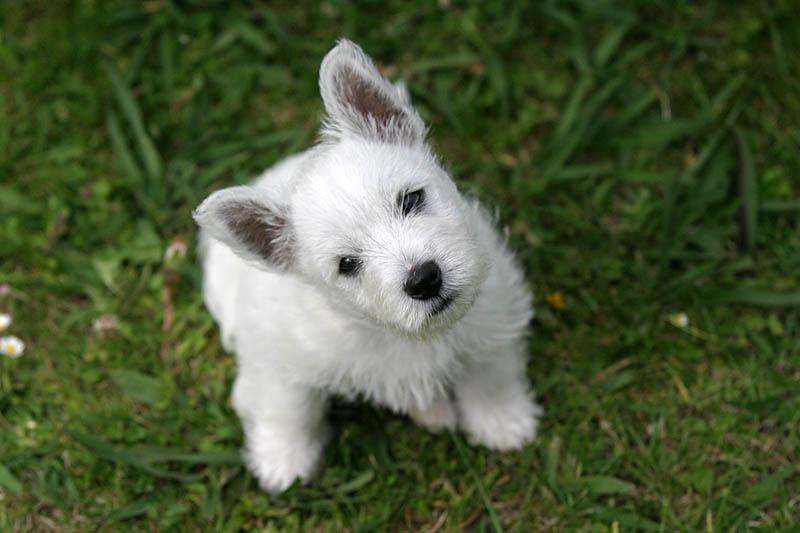 west highland terrier puppy