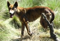 A wild dog, also known as a dingo, is seen caught in a trap in the Namadgi National Park, located south of Canberra, in this handout photo taken December 2004. Dingoes are part dog, part wolf, a last remnant of Asia's ancestor to modern dogs. PHOTO: REUTE