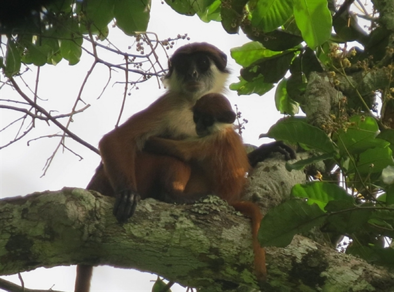 Bouvier's red colobus monkey