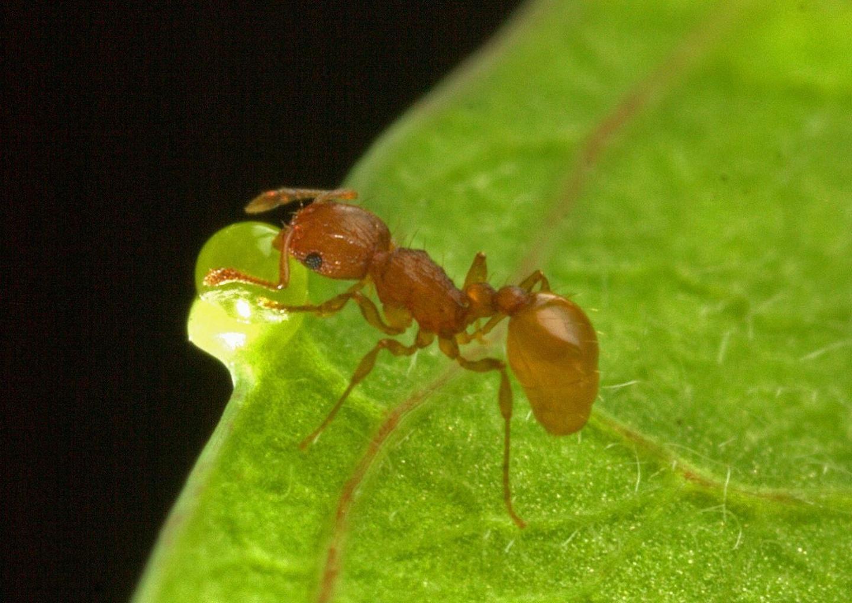 little fire ant