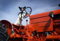 Dog \'drives\' tractor onto M74