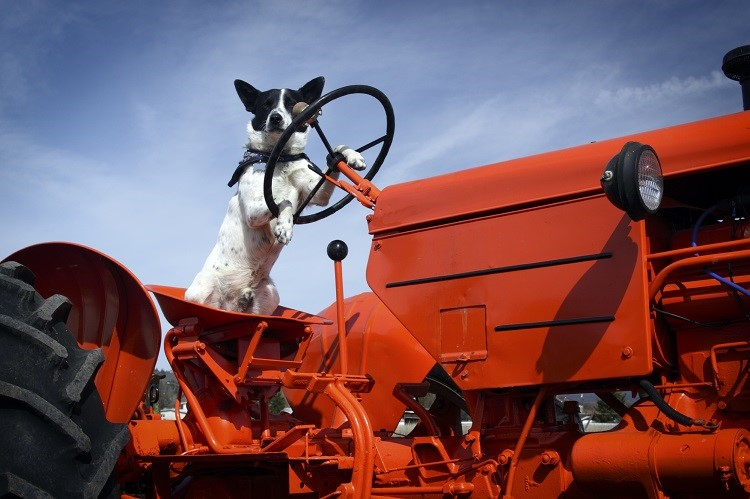 Dog 'drives' tractor onto M74