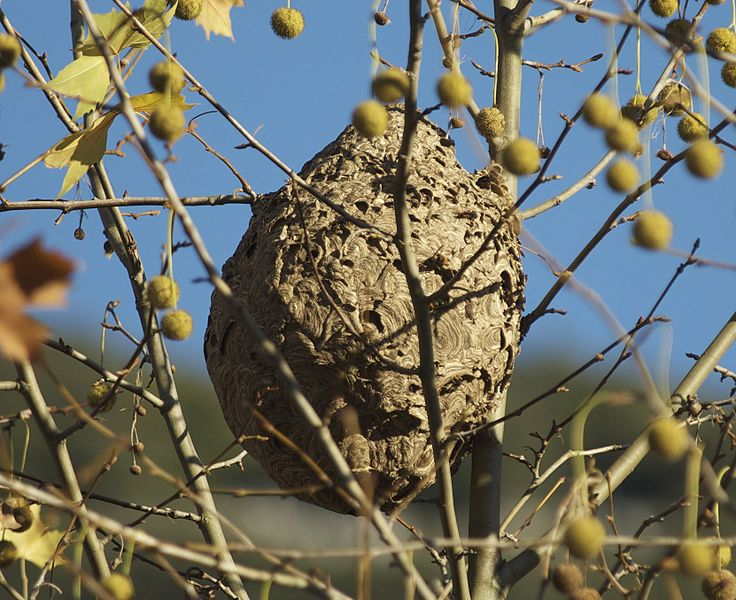 killer asian hornet nest