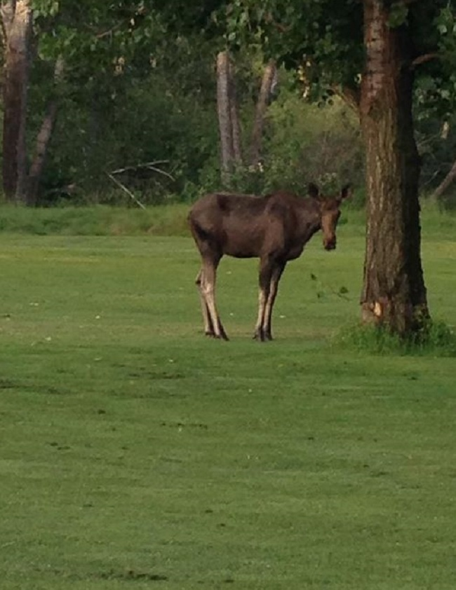 Moose on the loose in Boise