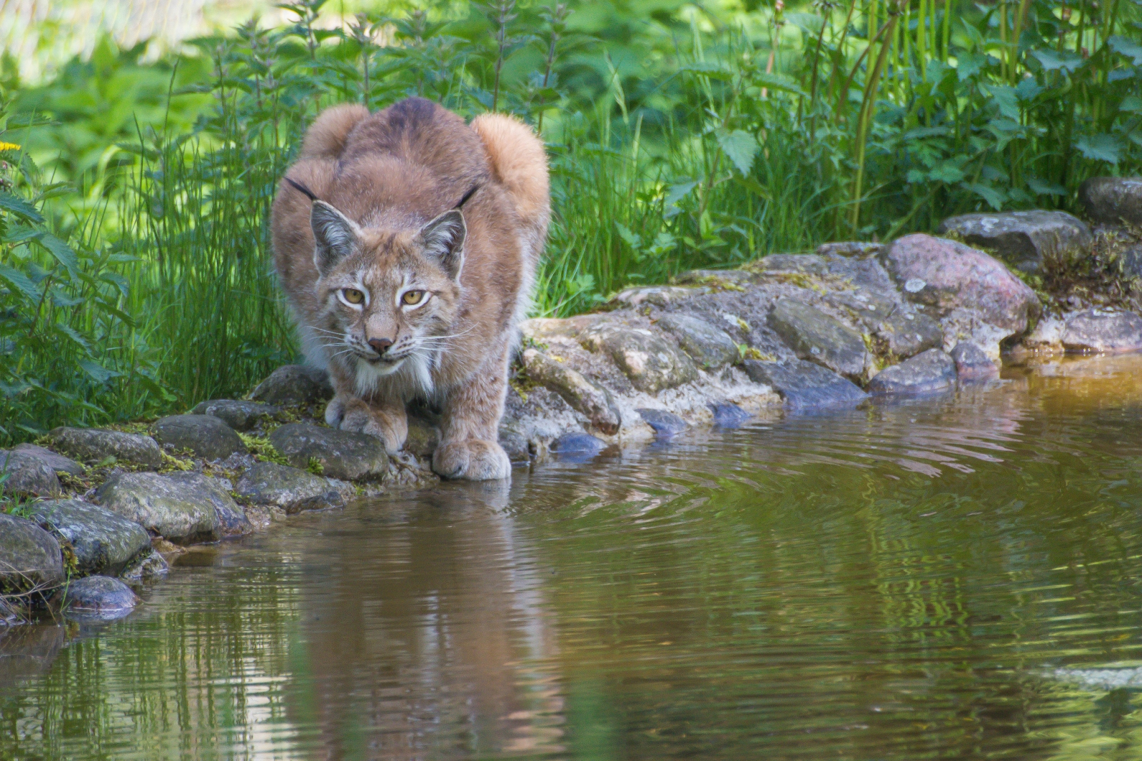 Lynx And Other Native Big Cats To Be Reintroduced To