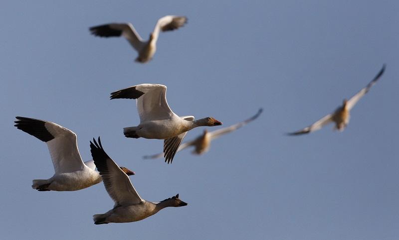 Migrating birds in North America