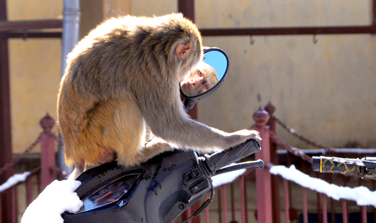 Shimla monkey