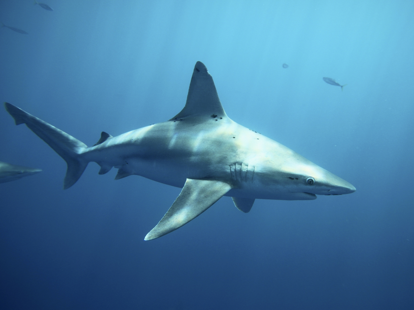 Shark off the coast of Hawaii