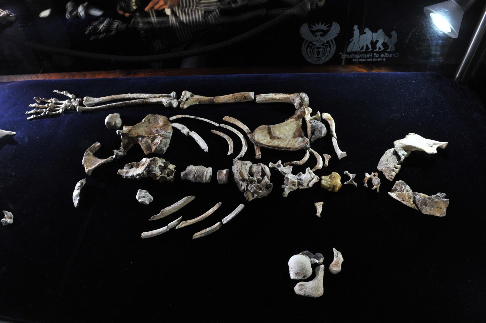 Australopithecus sediba fossil,