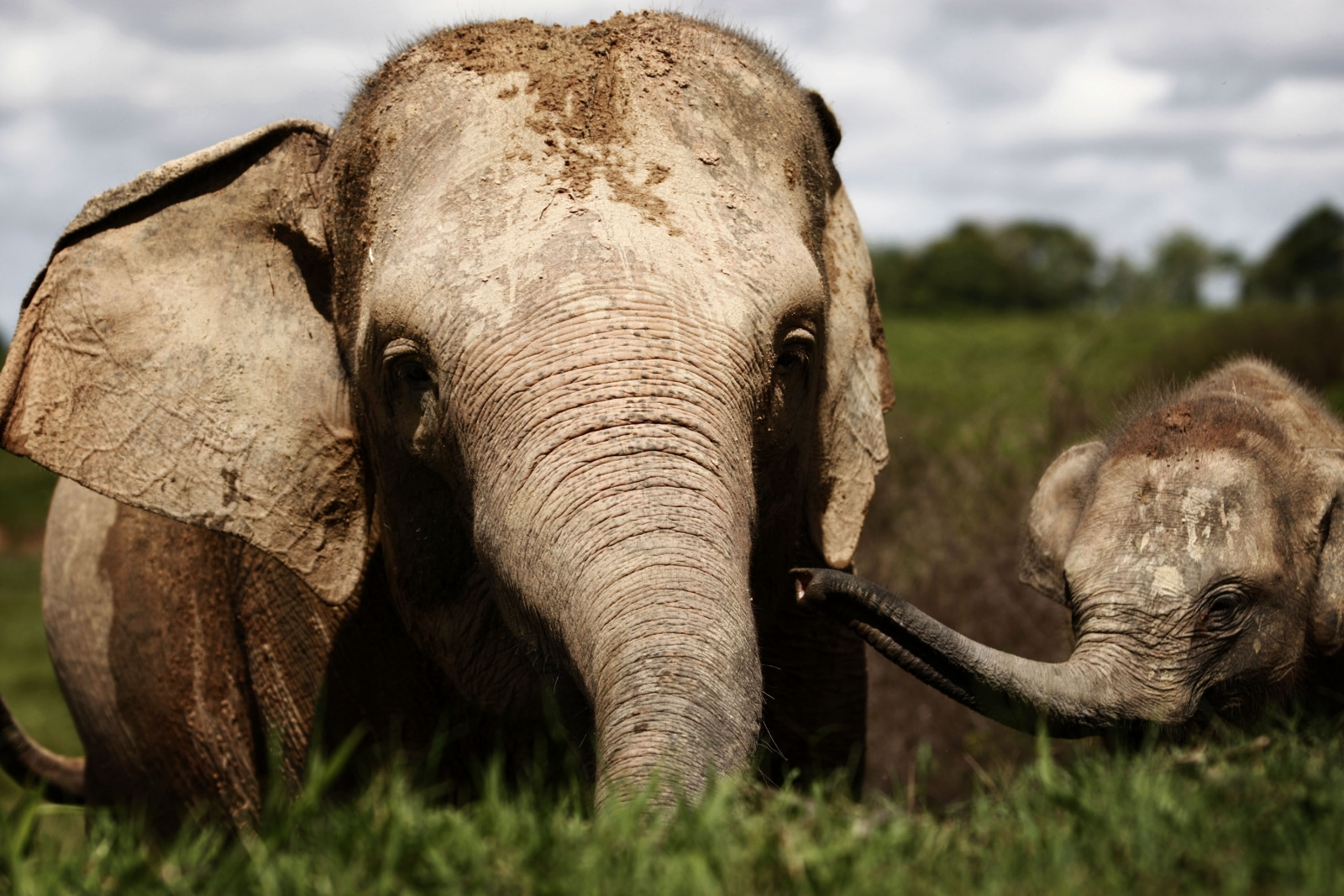 Patrol team shows signs of success in stopping elephant ... |Sumatran Elephant Endangered