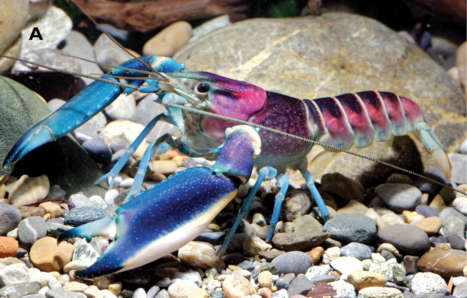 Weird and wonderful colourful crayfish species discover…