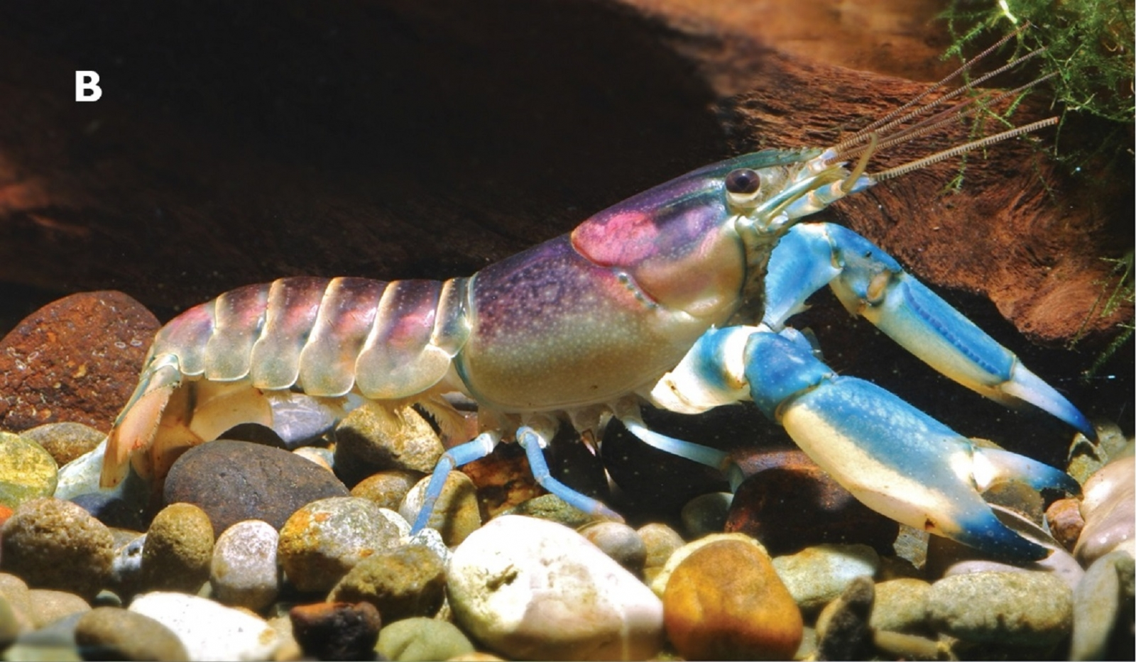 blue and pink crayfish species