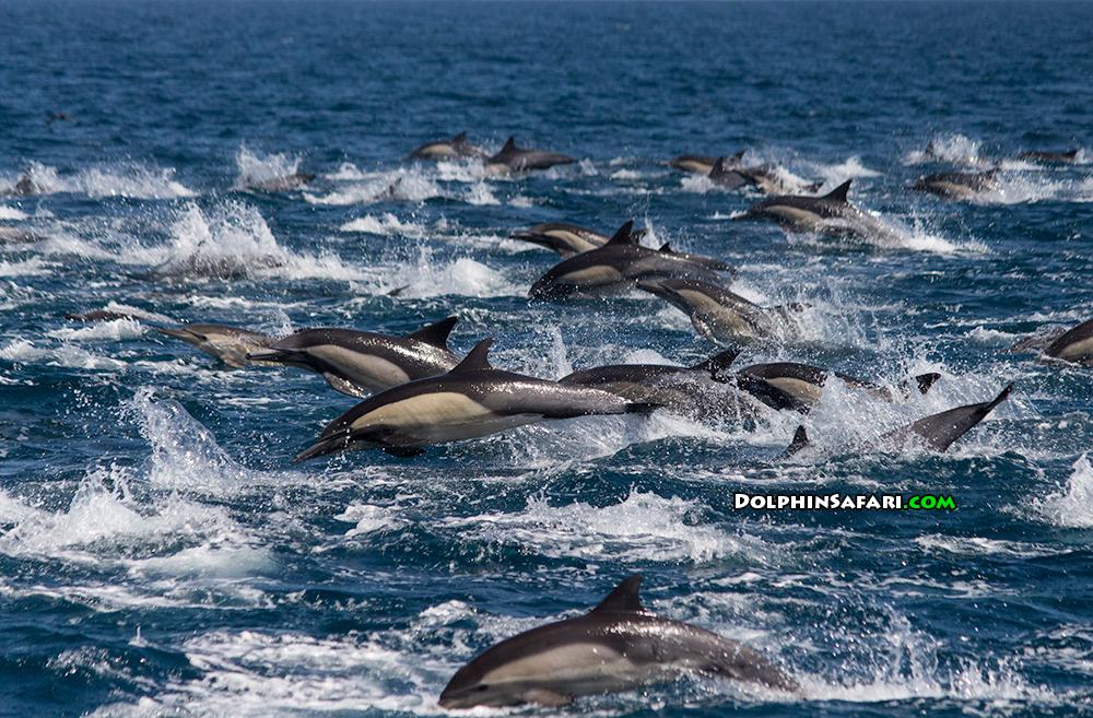Mega pod of dolphins - photo#7