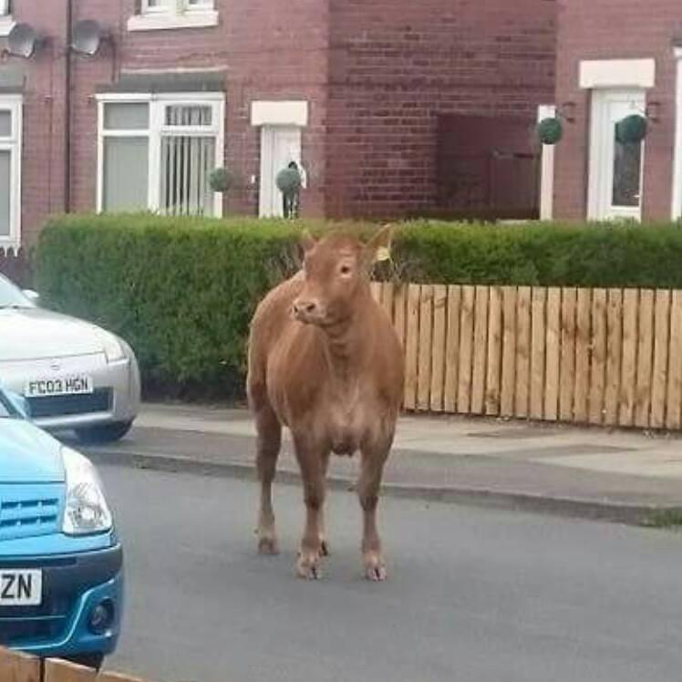 Wallsend cow