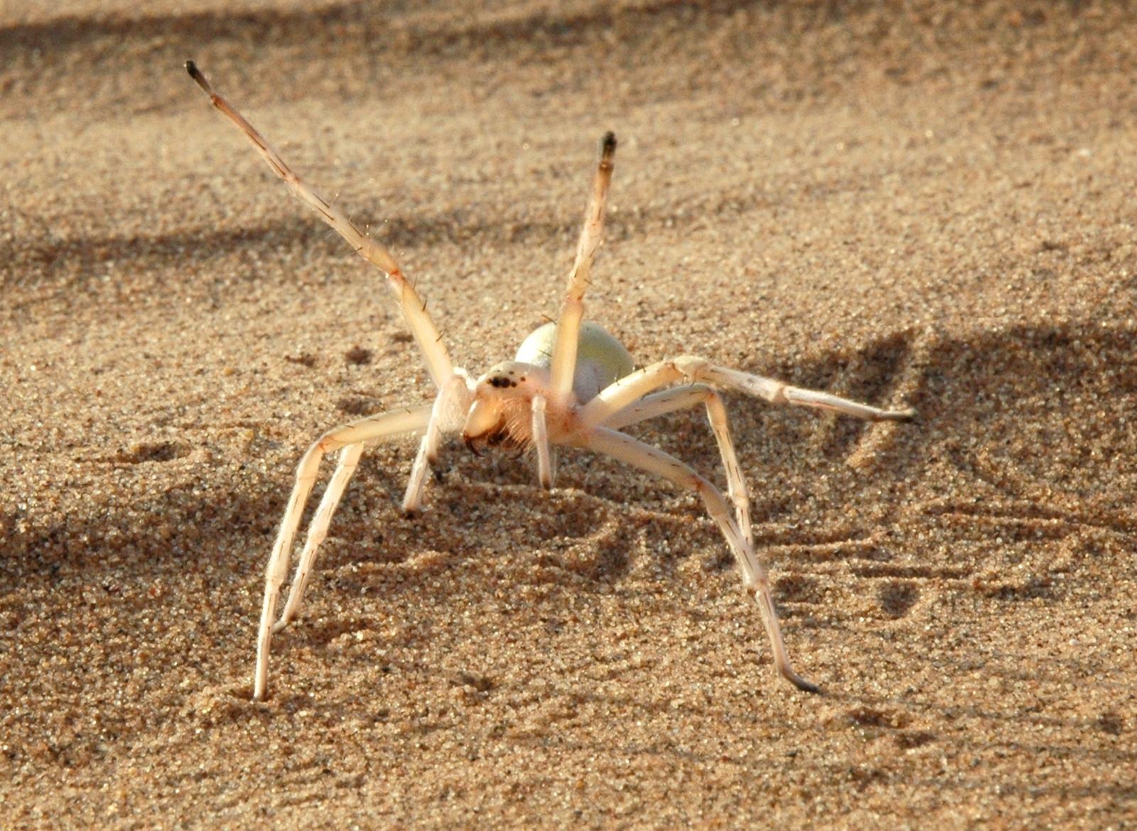 Cartwheeling spider