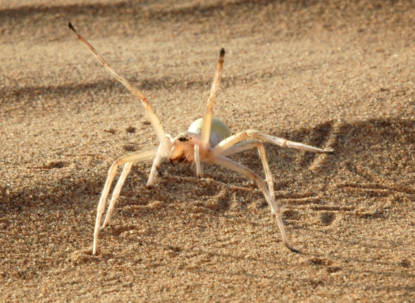Cartwheeling spider