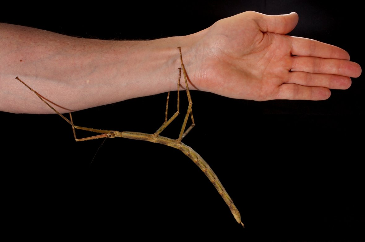 Tiny giant stick insect