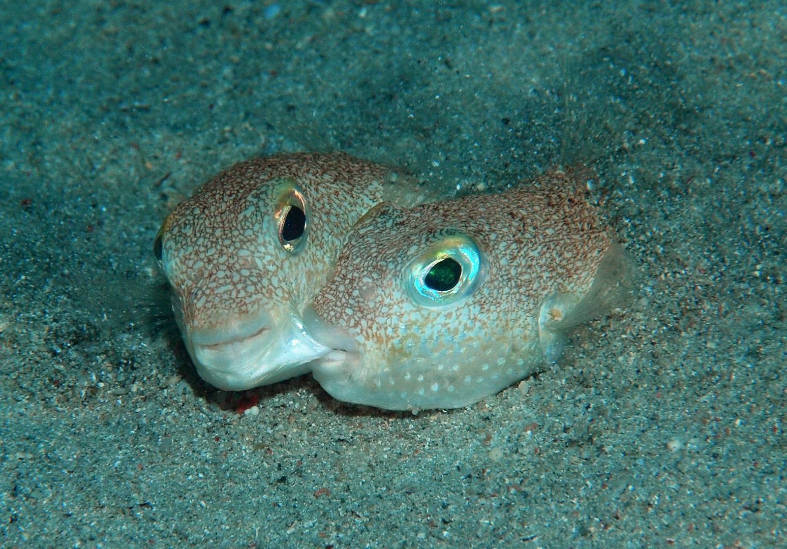 Pufferfish that makes crop circles