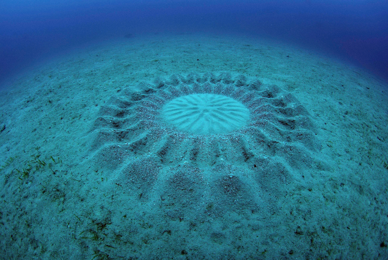 Pufferfish that makes crop circles