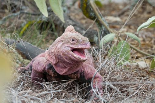 Pink iguanas