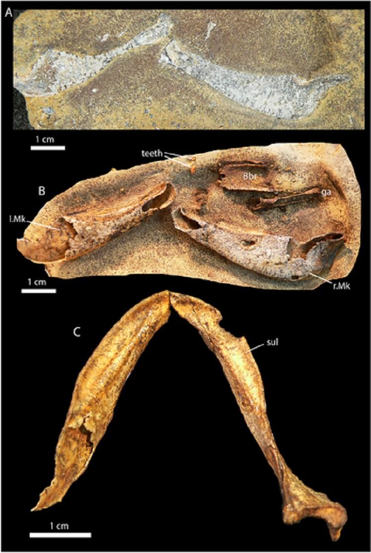 Gogoselachus lynbeazleyae