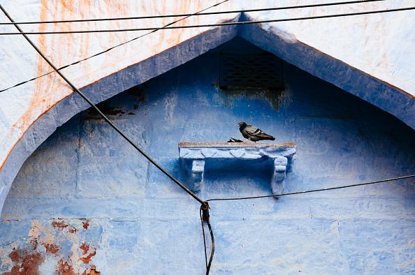 Pigeon India