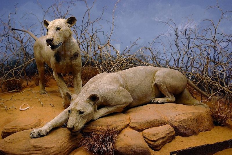 Man-eating Lions of Tsavo