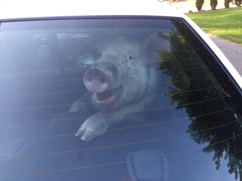 Pig arrested