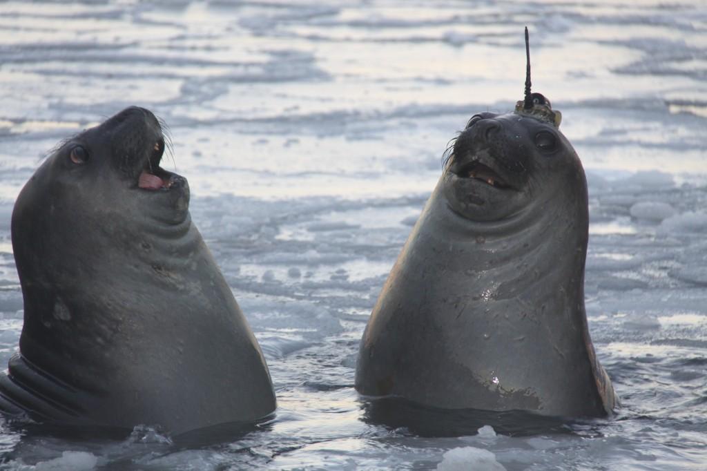 tweeting seals climate change