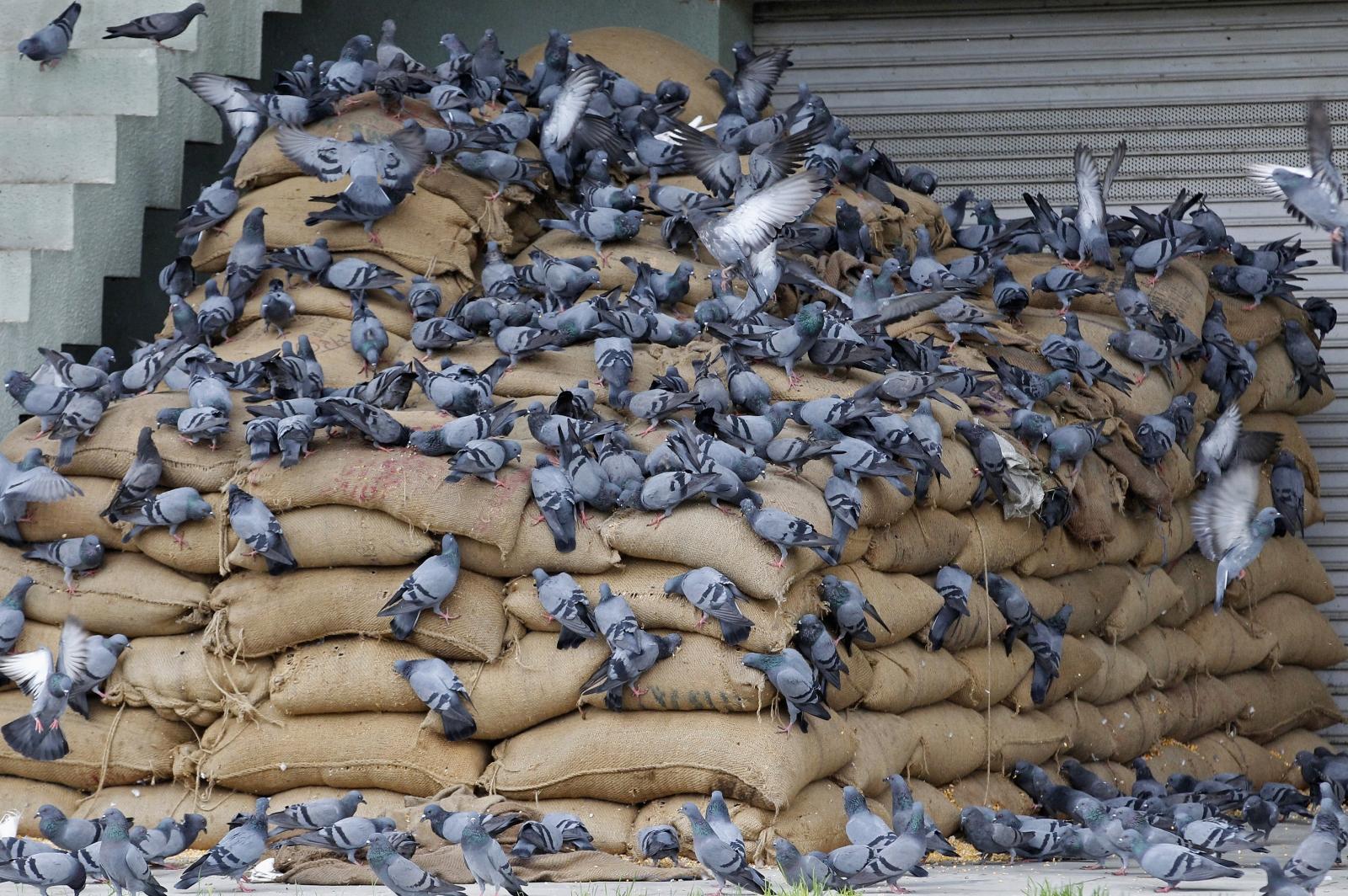 Isis bans pigeon breeders