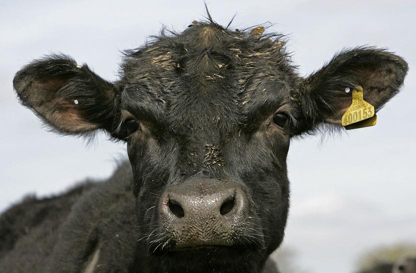 Aberdeen Angus cow strangled