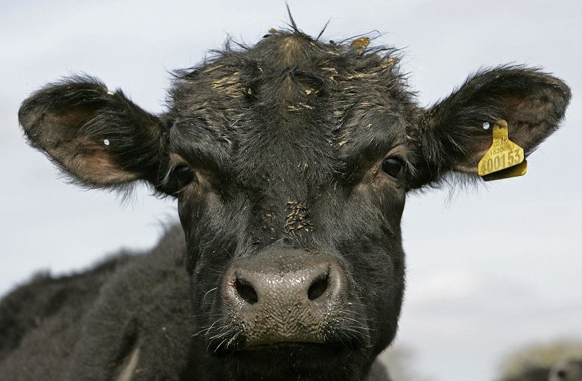Aberdeen Angus cow strangled