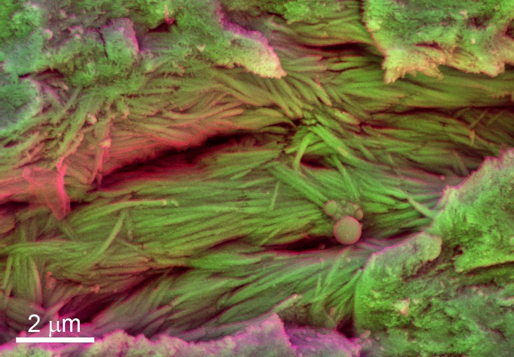 dinosaur soft tissues