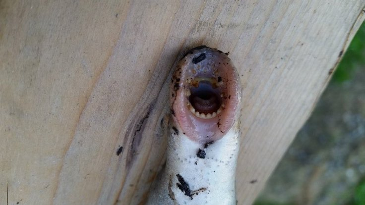 lamprey falling from sky