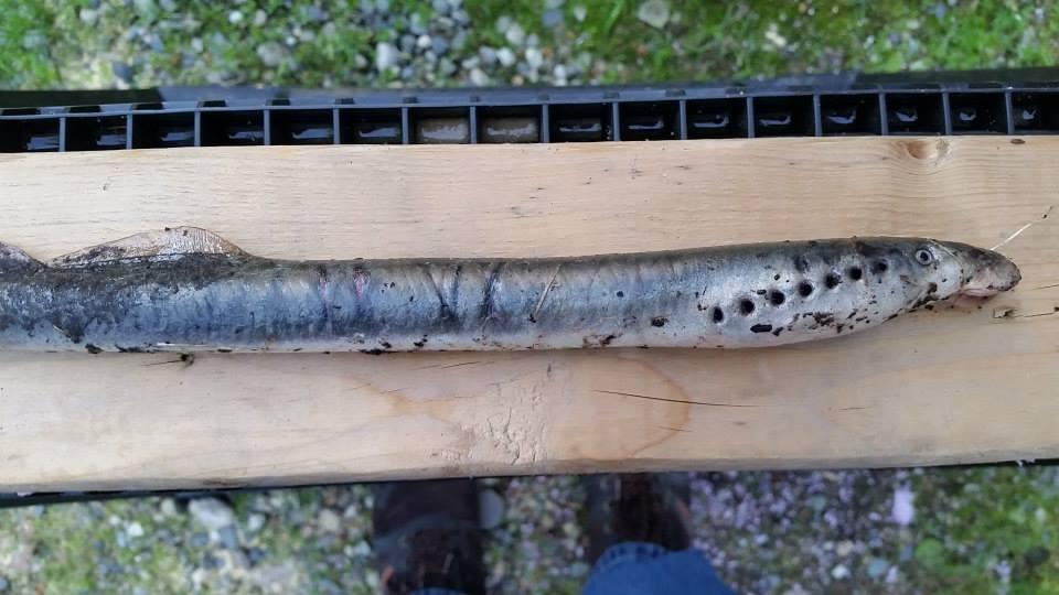 lamprey rain alaska