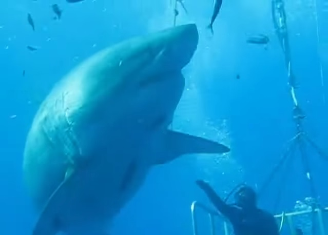 Deep blue monster great white shark high fives diver off for Deep sea fishing anna maria island