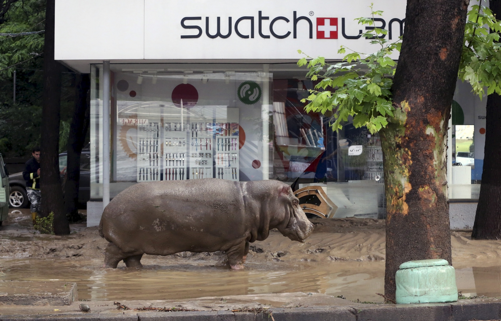 A hippo wanders the streets of Tbilisi
