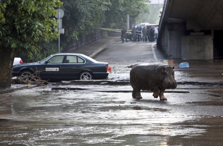 A hippo wanders the streets