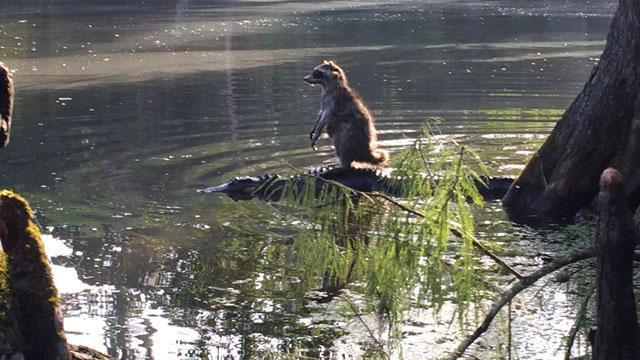 Raccoon rides an alligator