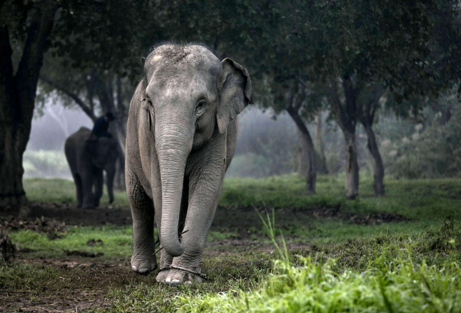 Thai elephant in forest