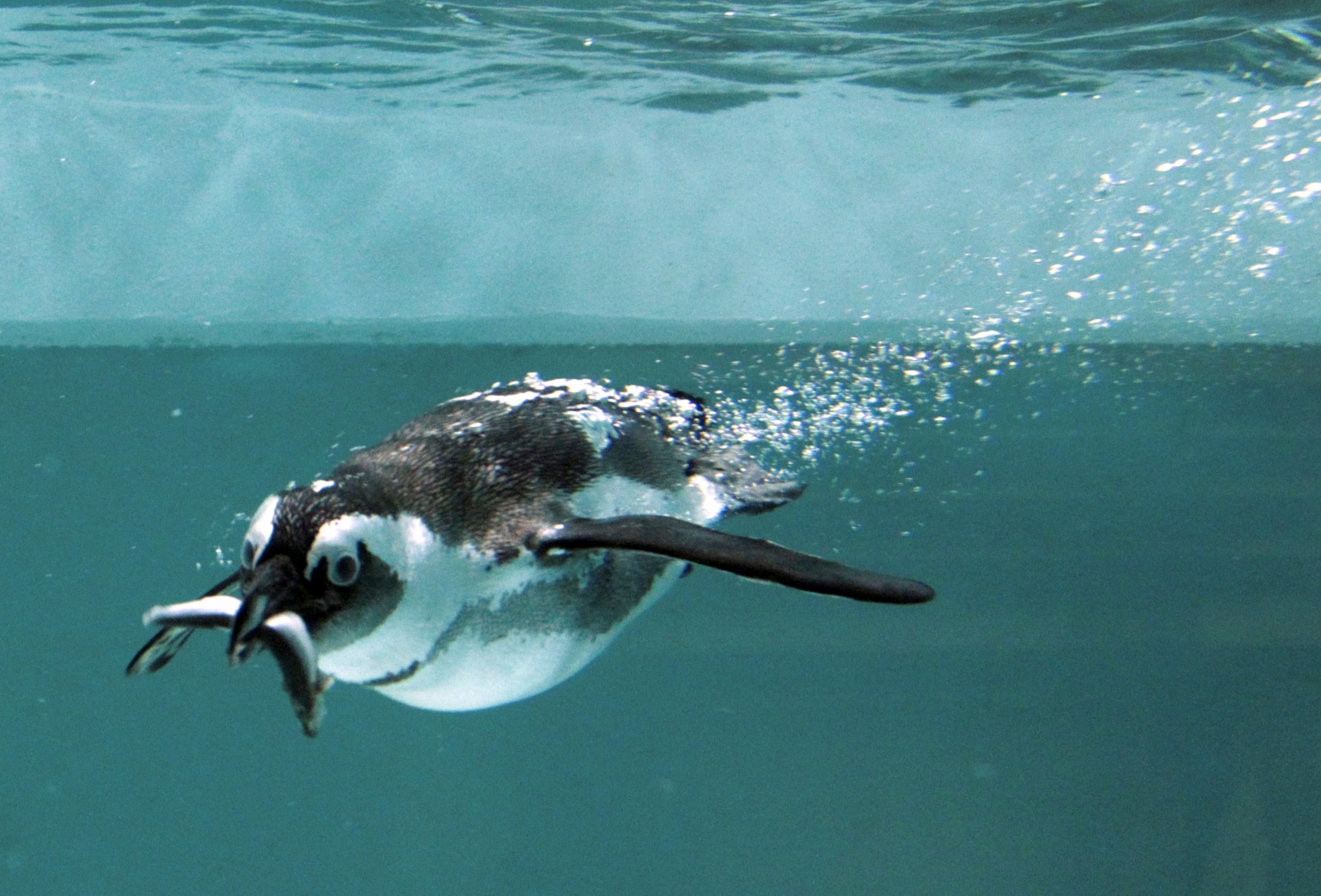 African penguin Tbilisi zoo flood