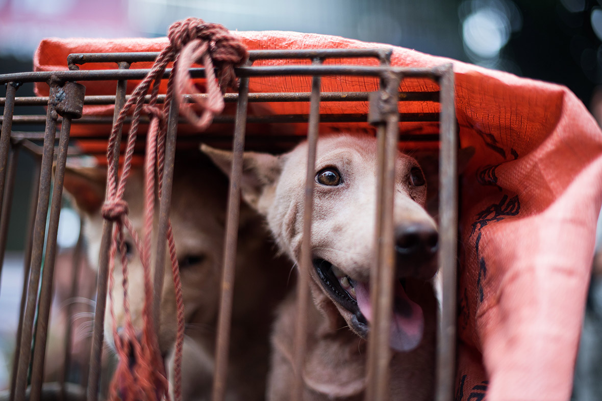 China Dog Meat Festival: Animal rights activists rescue ... - photo#22