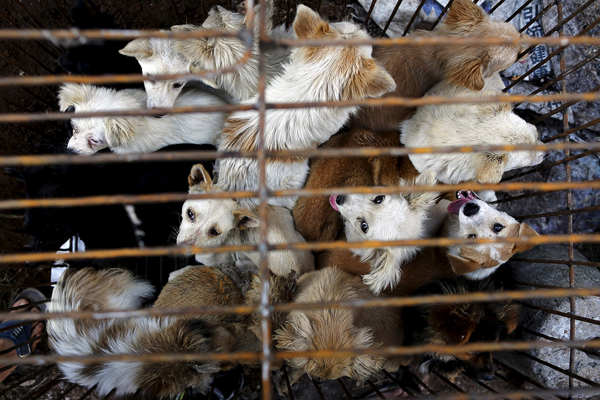 China Dog Meat Festival: Animal rights activists rescue ... - photo#23